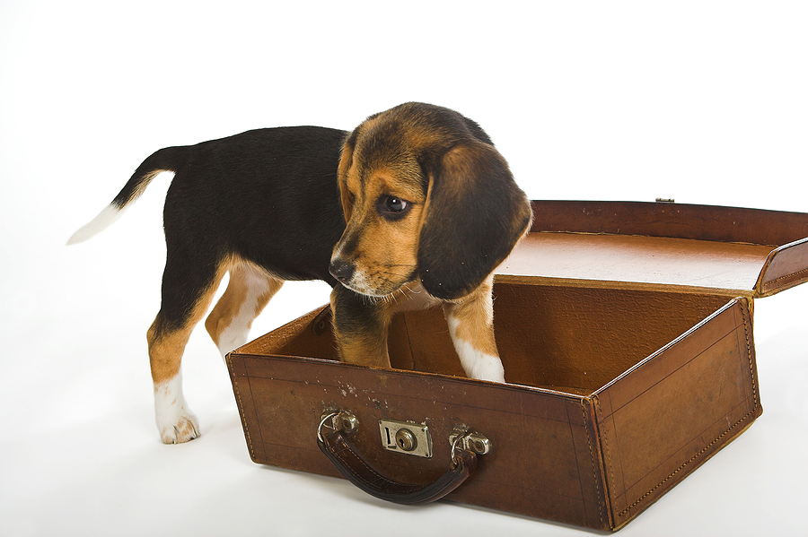small beagle trying to get into a suit case